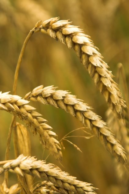 wheat, tares, words