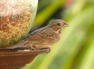 Lincoln's_Sparrow_at_bird_feeder