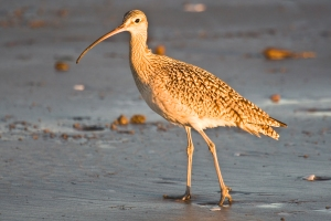 Long-billed Curlew in evening sun, Morro Strand State Beach, Mor